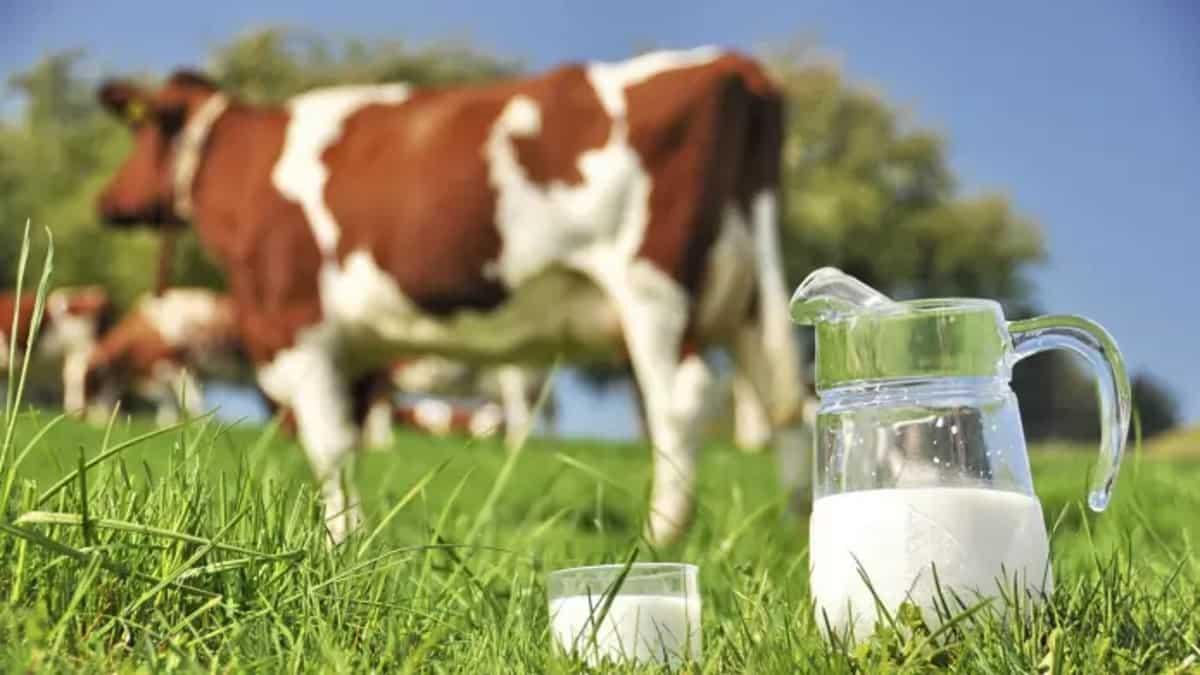 ดื่มนมวัวอันตราย